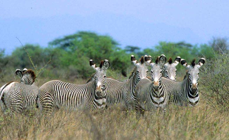 Kenya 8 - GREVY Zebras