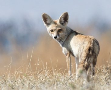 indian-fox1