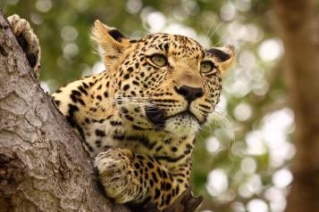 WIYOTravel_Kenya_Leopard