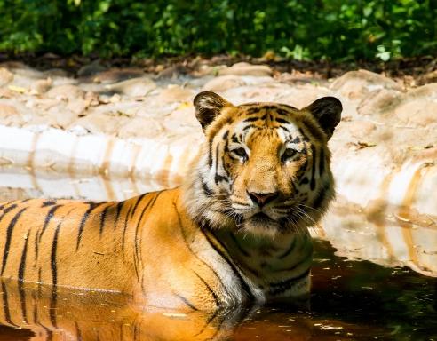 WIYOTravel_Tiger
